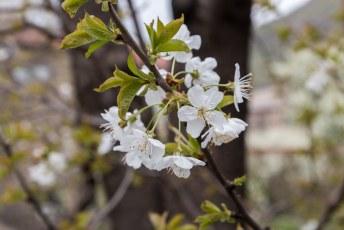 De bloesem van een pruimenboom.