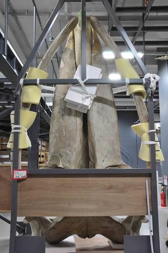 大村鯨模式標本的頭骨背面,發現於日本山口縣的角島(Tsunoshima Island)。蔡政修攝於日本國立自然科學博 ...