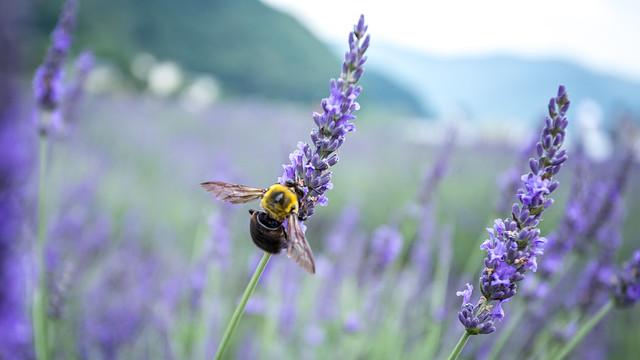A Honey Bee