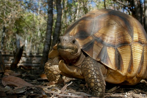 Ploughshare tortoise by Andrew Routh