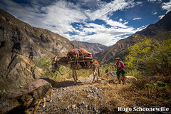 Donkey in the Colca Canyon