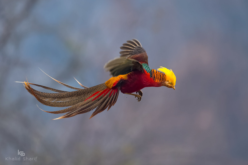 Golden Pheasant Chrysolophus Pictus ♂ 红腹锦鸡 H 243 Ng F 249 Jǐn J