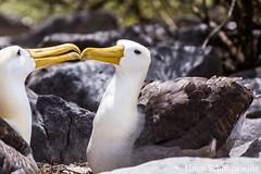 The Albatross on Isla Española