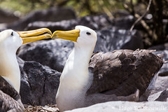 The Albatross on Isla Española