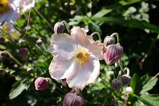 Herbst-Anemone / Anemone hupehensis