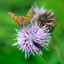 small copper, pink thistle