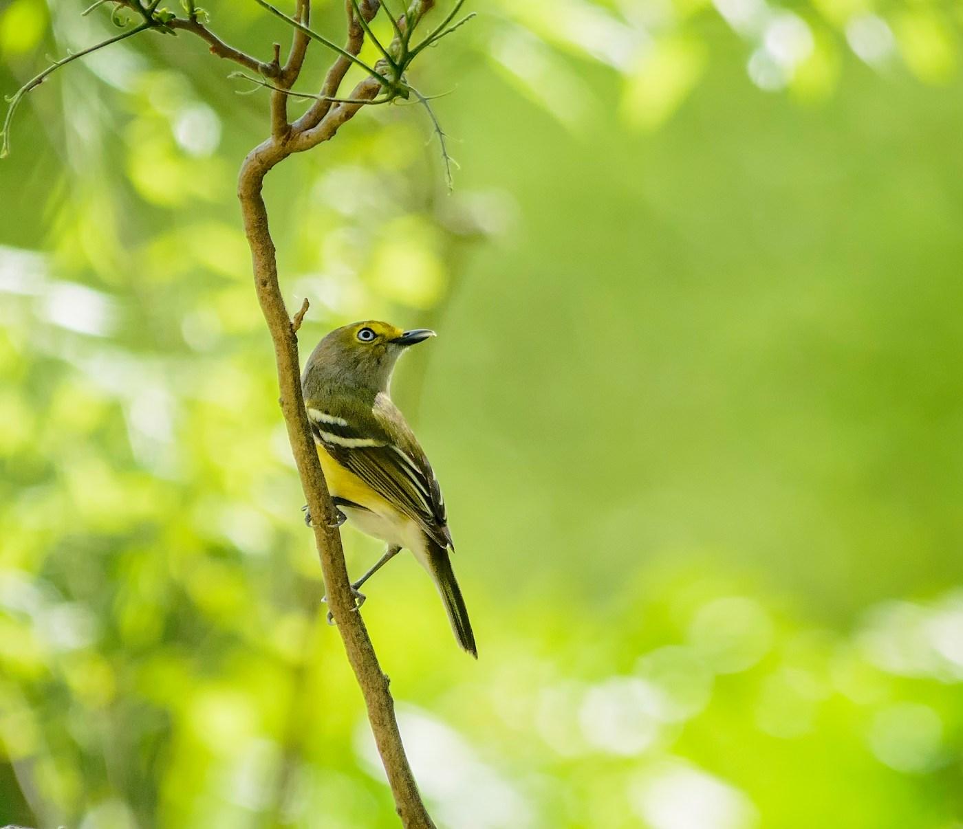 Birds - White-eyed Vireo by Jesus Moreno