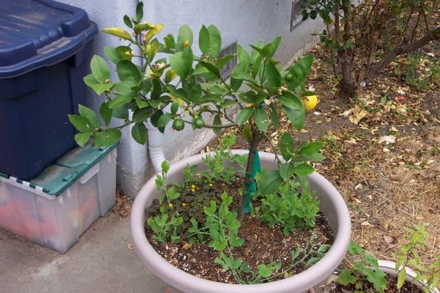 Meyer Lemon at 05-21-06