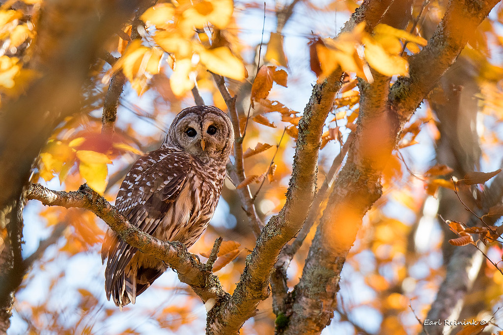 Desktop Wallpaper Fall Leaves Barred Owl Autumn Is Coming To A Close Spent The