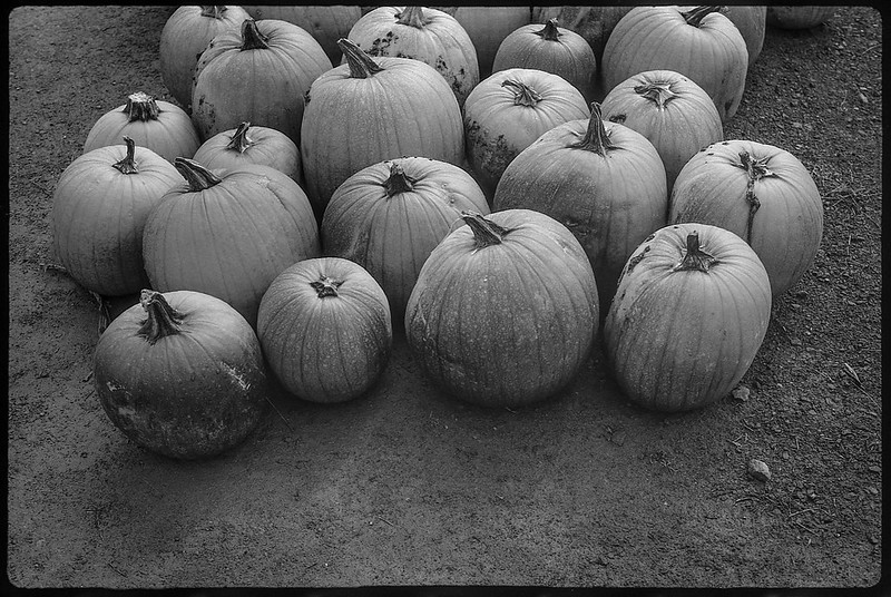 pumpkins, cluster Weskeag farms, South Thomaston, Maine, FED 2, Industar 61, Ilford FP4+, mid October 2017