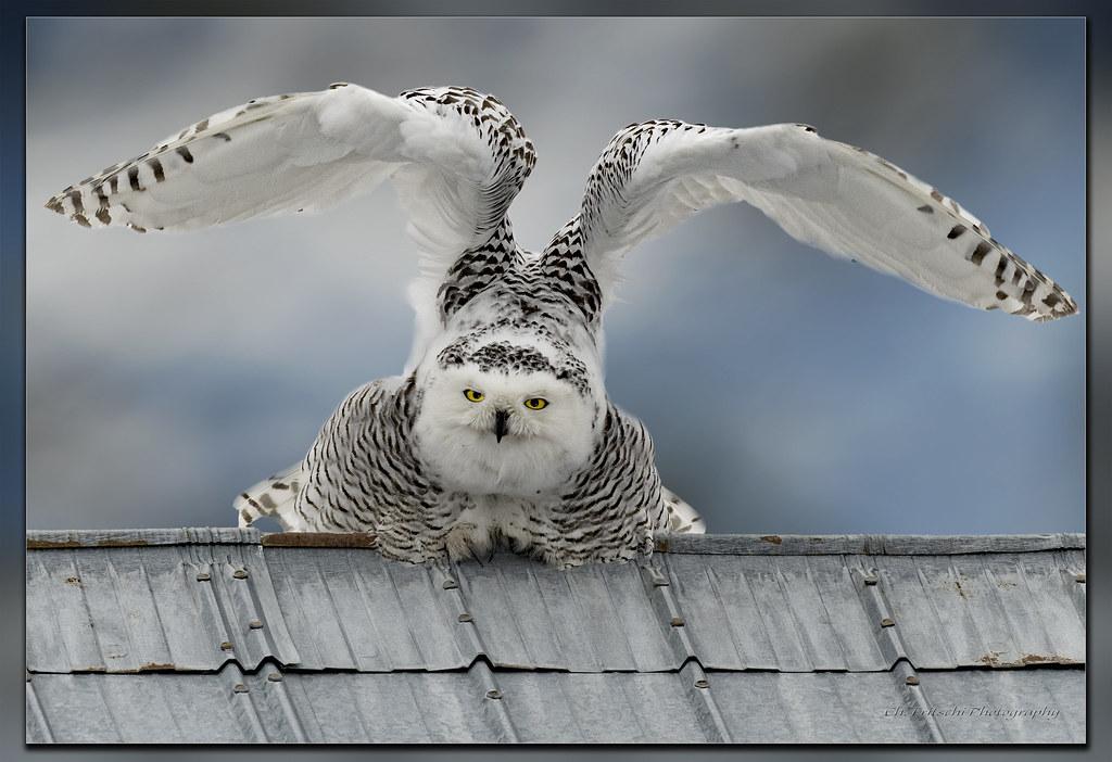 Harfang Des Neiges Snowy Owl Bubo Scandiacus Ukpik