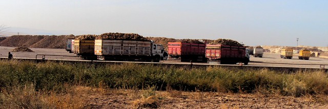 So many sugar beets everywhere by bryandkeith on flickr