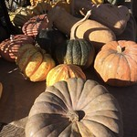 Big beatiful pumpkins