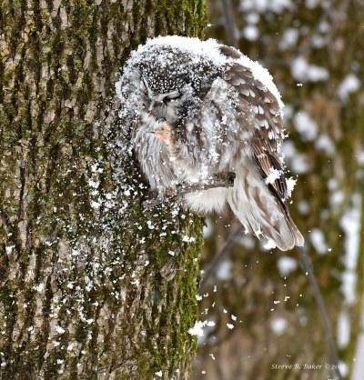 Nyctale de Tengmalm/ Boreal Owl (Aegolius funereus)
