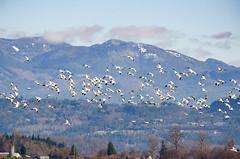 Fir Island Snow Geese-026