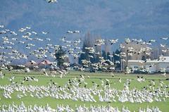 Fir Island Snow Geese-014