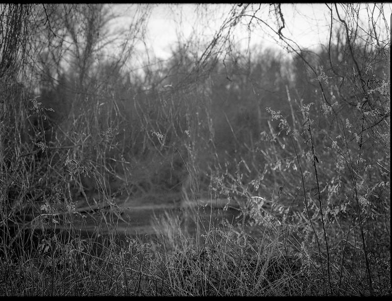 dense vegetation, tangled, riverside, French Broad River, Carrier Park, Asheville, North Carolina, Mamiya 645 Pro, mamiya sekor 80mm f-2.8, late December 2017