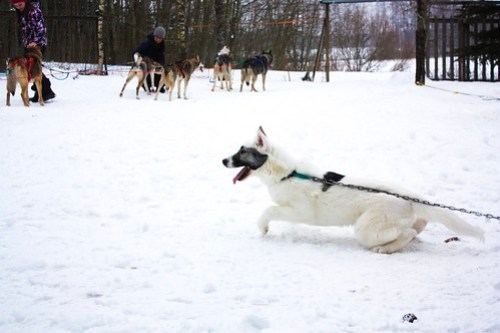 Husky Safari in Tampere