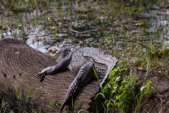 De mugger crocodile, of zoals we in Nederland zeggen de moeraskrokodil.