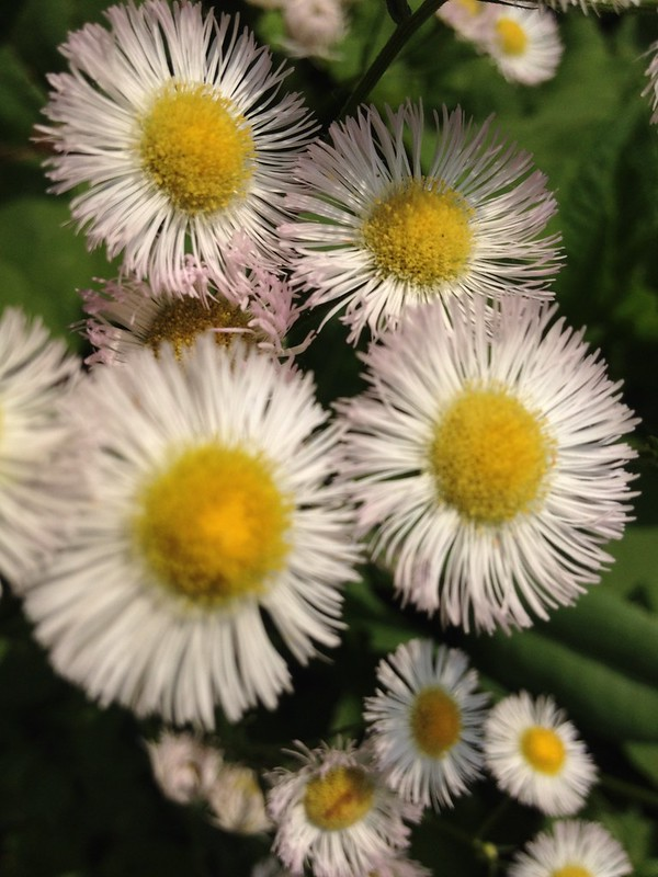 A form of fleabane? Daisy?