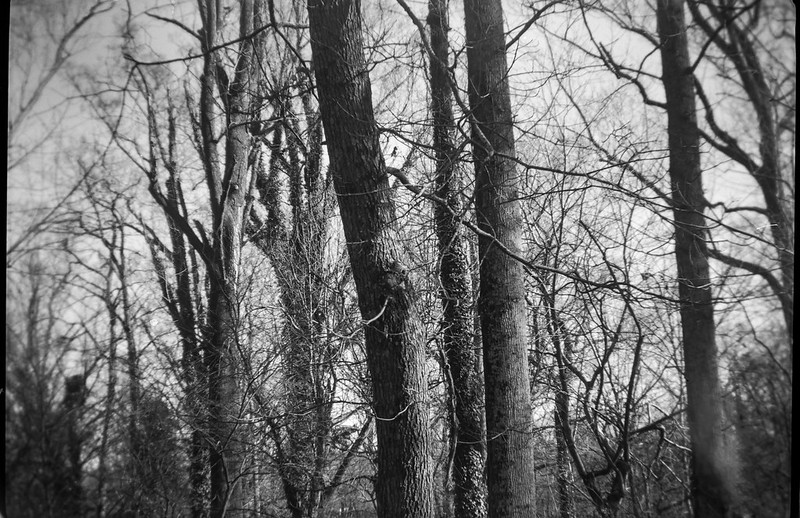 horizontal rhythmic movement of vertical forms,  forest, Asheville, North Carolina, Kodak Brownie No. 2 Model F (green), Arista.Edu 200, Ilford Ilfosol 3 developer, 12.17.18