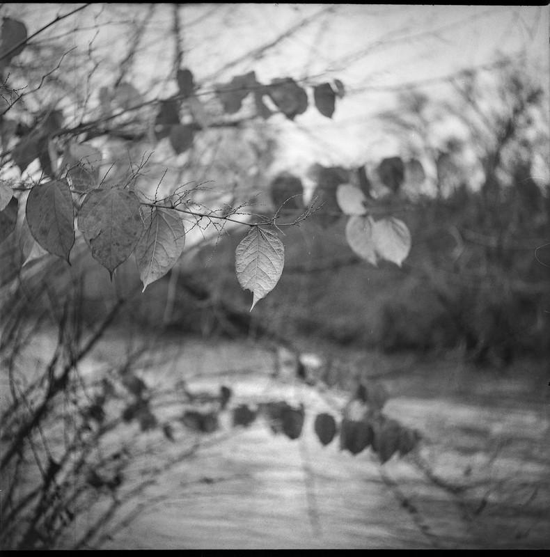 few remaining autumn leaves, Carrier Park, French Broad River, Asheville, NC, Ricohflex Dia M, Arista.Edu 200, Ilford Ilfosol 3 developer, 11.15.18