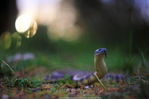 tiger snake twilight..