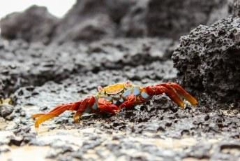 Lastig op de foto te zetten want ze zijn vlug als water de sally lightfoot crab.