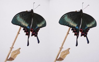 ミヤマカラスアゲハの飼育記録 立体写真と動画