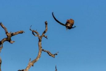 je ziet ze niet vaak vliegen waarschijnlijk omdat ze er niet veel van bakken