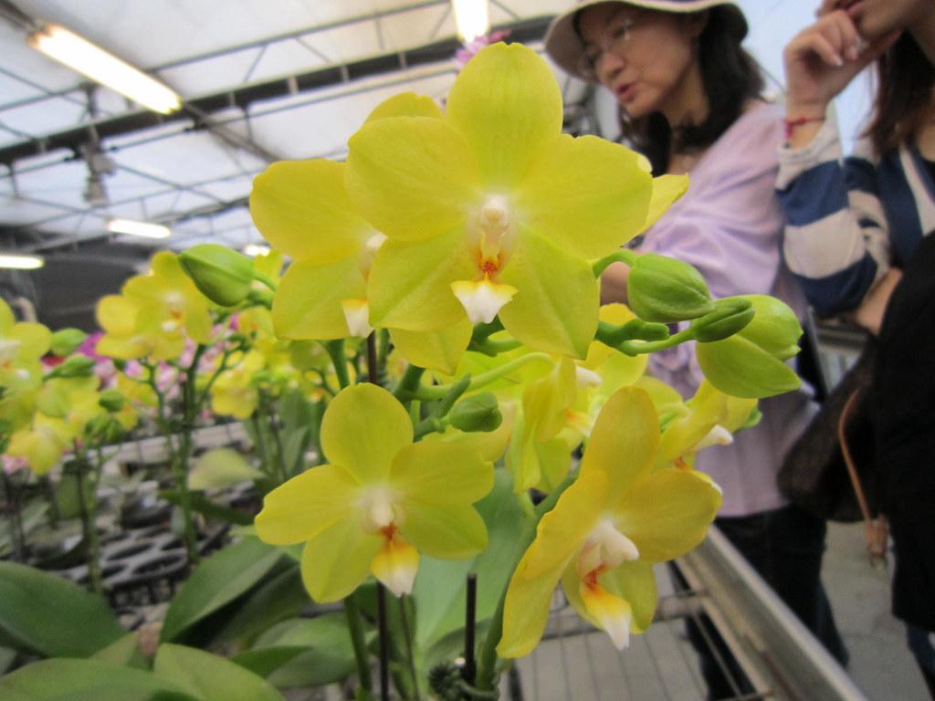 蝴蝶蘭 (Phalaenopsis)   Stephin 鋒   Flickr