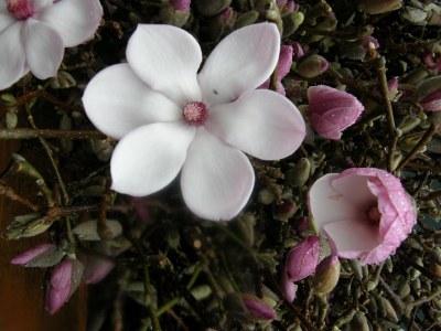 tulip magnolia flowering branch