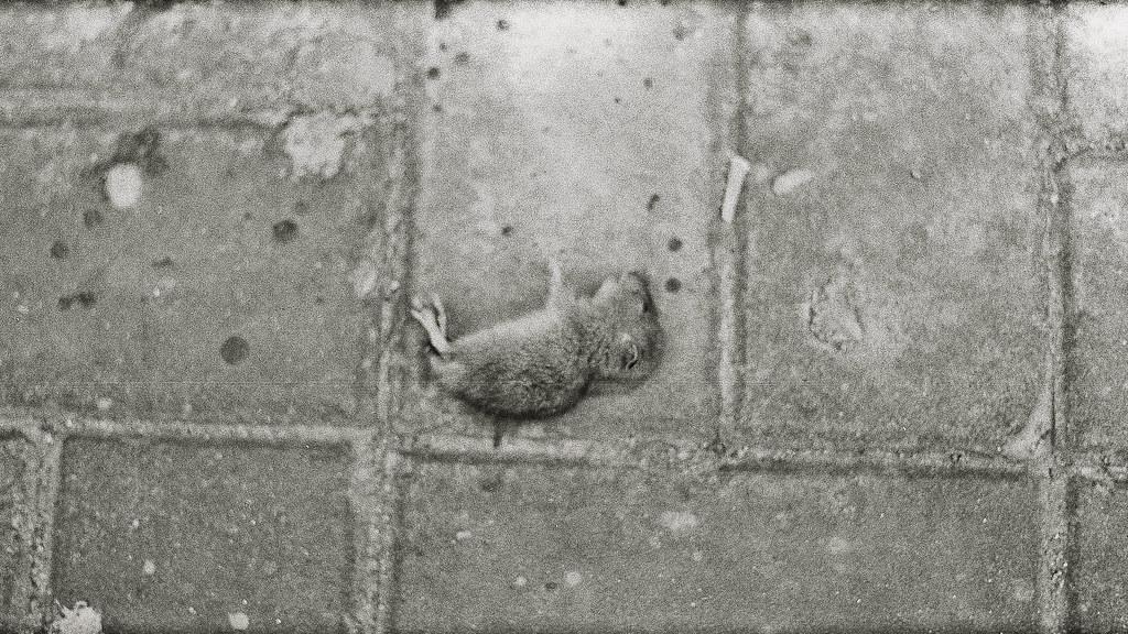 死去的幼鼠 | 也許只有現在的死才能博得同情 | 似海非鳥 | Flickr