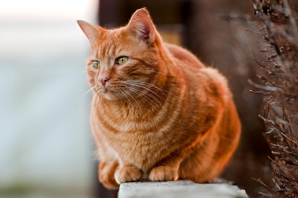 Orange Cat On The Wall This Cute Orange Tomcat Was