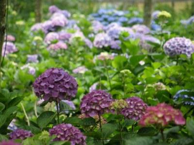 purple & blue hydrangea