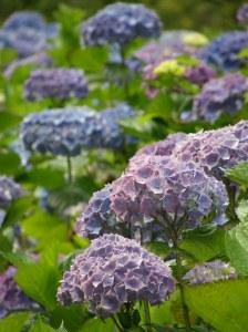 lavender hydrangea flower farm