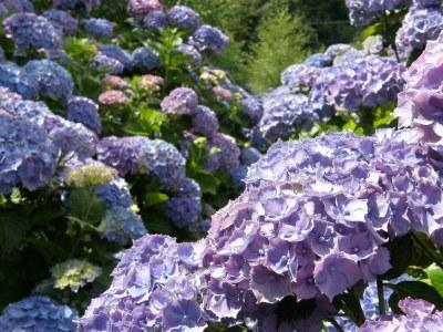 huge hydrangea blooms