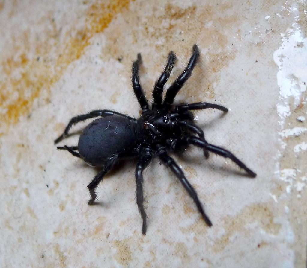 spanish funnel web spider