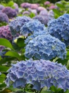 periwinkle blue hydrangea