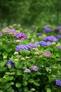 purple hydrangea plants
