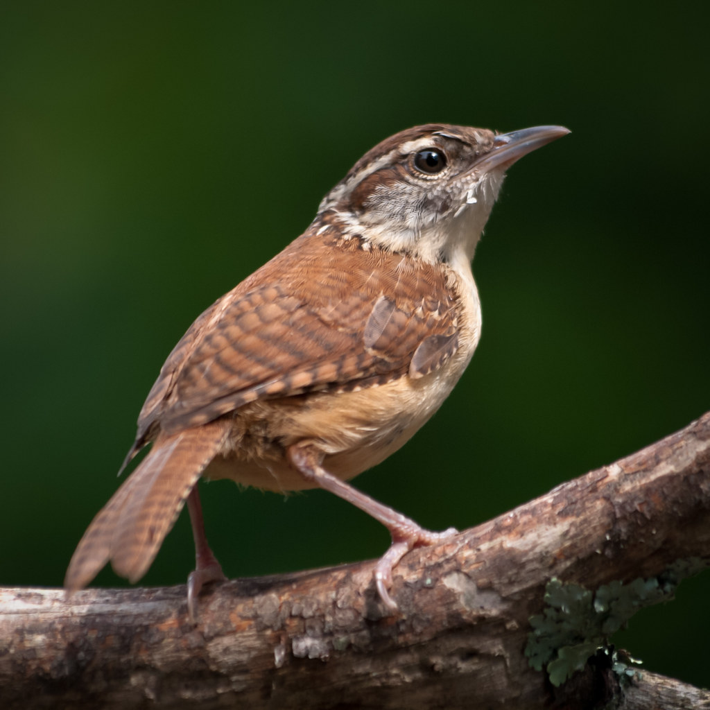 South Carolina State Bird