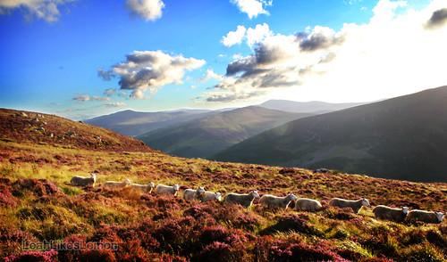 Sheep in a cute little row.