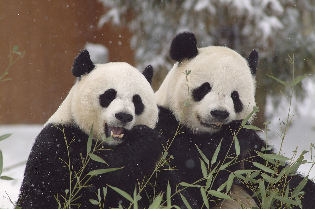 Giant Pandas   Pandas come together for breeding only once a…   Flickr