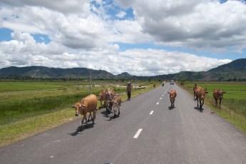 Kühe vor Reisfeld