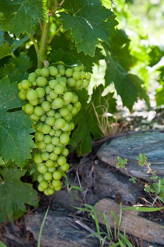 Muscat grapes   Samian muscat grapes   Hans Rakers   Flickr