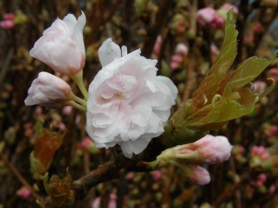 double flowering white cherry