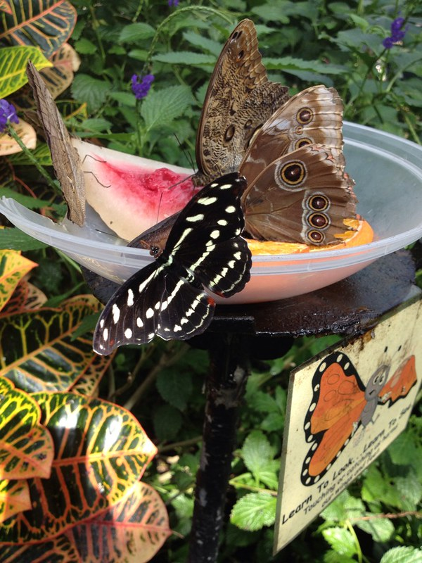 Butterfly meal time