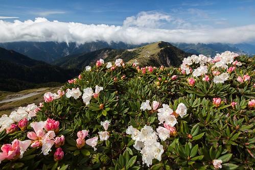 杜鵑花季 合歡山主峰 | higrace 黑夜與白天 | Flickr