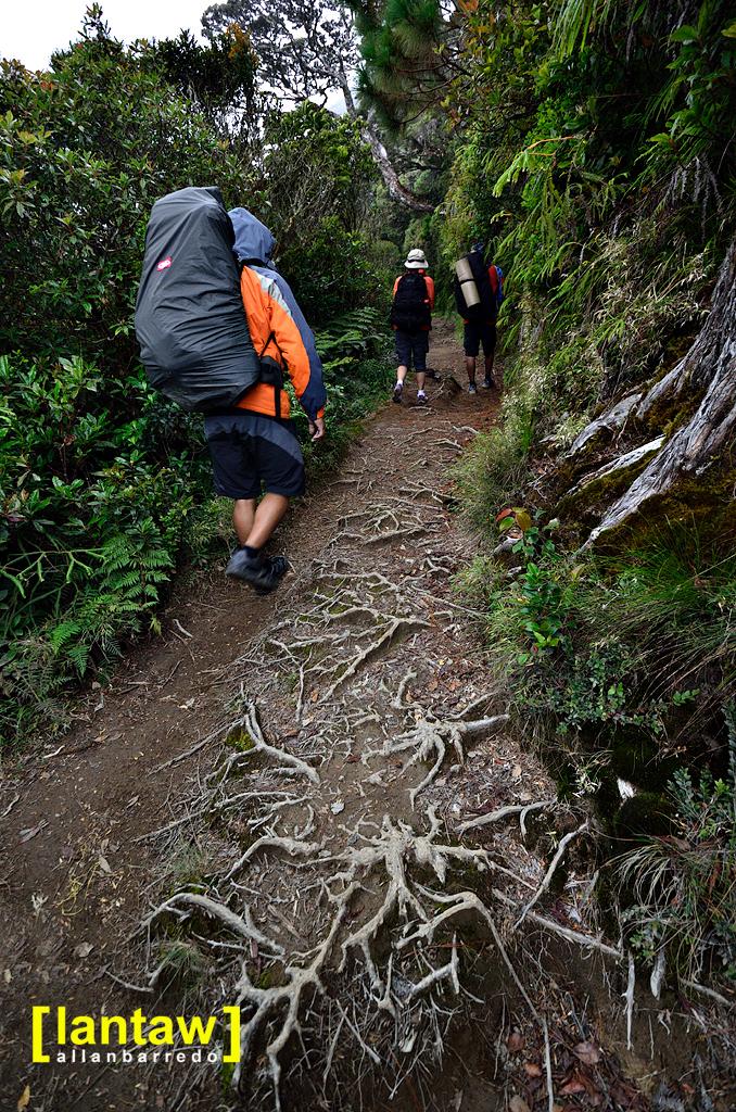 Trail Roots | Ambangeg Trail Mt. Pulag National Park Visit L… | Flickr