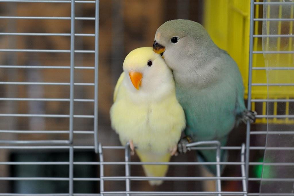 TCY_0953   牡丹鸚鵡-艾莉絲與小綠綠   蘇州一隅   Flickr